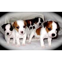 Cachorros Jack Russell Terrier! Patas Y Pelo Corto.