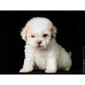 Cachorros Caniche Míni Micro Toy Machos Y Hembras Tenelo Hoy