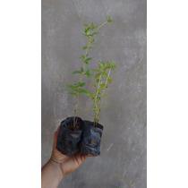 Mudas De Stevia A Planta Adoçante (stevia Rebaudiana)