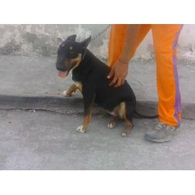 Hembra Bull Terrier Ingles De 1 Año 4 Meses Proximo Celo.