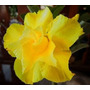 Rosa Do Deserto 15 Sementes Amarelas - Adenium Duplas Tripla