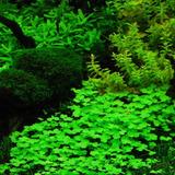 Hydrocotyle Marítima Plantas Para Acuario