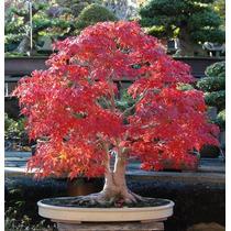 Semente Acer Rubrum Bordo Vermelho Maple Bonsai Árvores