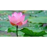 Semillas De Flor De Loto - 4 Colores