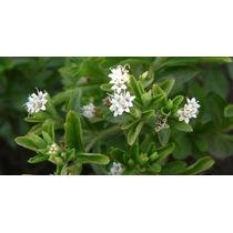 Stevia ( Planta ) , Estevia Rebaudiana Bertoni , 1 Planta