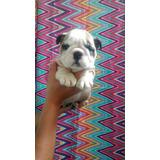 Bulldog Ingles Miniatura Cachorro Macho Hembra Arruga Banano