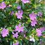 Plantines Florales - Ericas C. X 10 Uni. N°12- $150