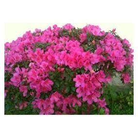 Azaleia - Rhododendron - Mudas Com 50 Cm De Altura