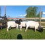 Encaste Con Reproductores Dorper 8º Region Ñuble