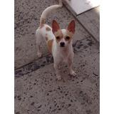 Chihuahua Semental Para Monta