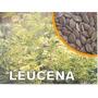 Leucena Leguminosa 1000 Sementes Mais Brinde