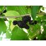 Amora Miura 125 Folhas Verdinhas In Natura