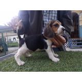Cachorros Beagle Hijos Camp. Belleza,certif. Nacimiento Chip