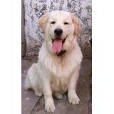 Busca Novia- Golden Retriever Macho (2 Años) P/servicio