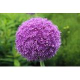 100 Sementes Allium Giganteum Plantas Ornamentais + Brindes