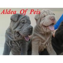 Cachorros Shar Pei ºº Criadero Aldea Of Peis