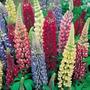 Semillas De Lupino. Hermosa Flor