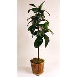 Planta Artificial Gomero . Regalosdeco