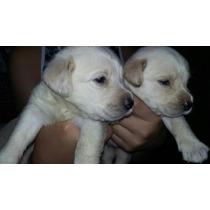 Vendo Cachorros Labradores Puros