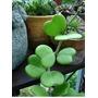 Muda Planta-coração Enraizada Hoya Kerrii: Cacto