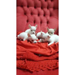 Chihuahuas Mini De Bolsillo Real Criadero Costa Azul