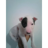 Bullterrier Mini Hembra Pirata Disponible