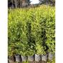 Oferton!! Plantas Cerco Vivo Leylandi Pinos Cercos Vivero