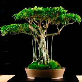 Sementes Bonsai Ficus Benjamina Arvore P/ Mudas