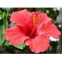 Hibiscus Flor 1 Kilo, Origen Sudan, 100 % Pura Bebida Refres