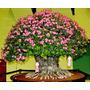 50 Sementes De Rosa Do Deserto( Adenium Obesum )mix De Cores