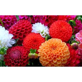 100 Semillas De Dalia Variada Dahlia Enana Flor Mexicana