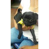 Vendo Cachorros Pug Negro Chatos Puros Garantizados Venta