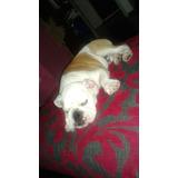 Cachorro Bulldog Inglés 4 Meses