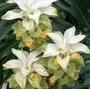 Curcuma Ou Tulipa De Sião - Branca - Bulbos Frescos!!!