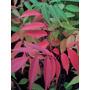 Arbol Rhus, Plantin. Vivero Arbol Hermano. Jardin O Bonsai