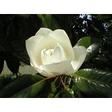 Magnolia Grandiflora Blanca - Directo De Vivero Kirken