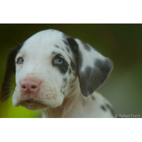 Cachorro - Filhotes De Dogue Alemão