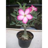 Rosa Del Desierto (planta)