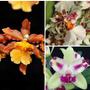 Kit 3 Mudas Orquideas Catatante + P.cameo + Cattleya Híbrida