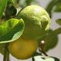 Mudas De Limão Limão Doce - Citrus Limetta - Enxertadas