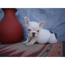 Bulldog Francés Excelente Macho Cachorros_increibles