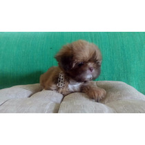 Shihtzu Femea Chocolate Com Pedigree Cbkc