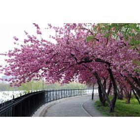 Cerejeira Sakura Rosa - Sementes Frutas Para Mudas E Bonsai