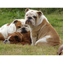 Bulldog Ingles En Cuotas Sin Tarjetas