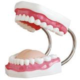 Material Didáctico - Modelo Dental 32 Dientes