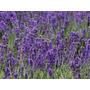 Plantines Florales -lavanda Cajón -maceta Nº12- 10 Uni. $140