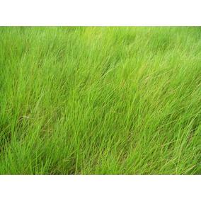 1 Kg Semillas Pasto Brachiaria Humidicola Codigo 102