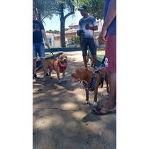 Peitoral Para Pit Bull, Bull Terrier E Bulldog Inglês