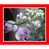 Sementes Trepadeira Caracol Perfumada Flor - Vigna Caracalla