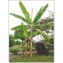 Planta Rara Banano Malayo Acuminata Gigante Gusto Chantilli